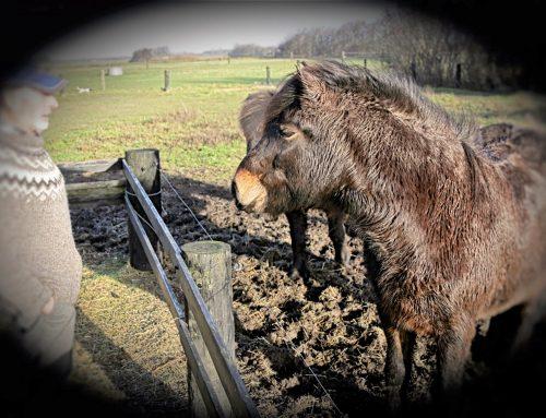 De islandske heste bringer Aage og veninder langt omkring i nærområdet – flere gange om ugen
