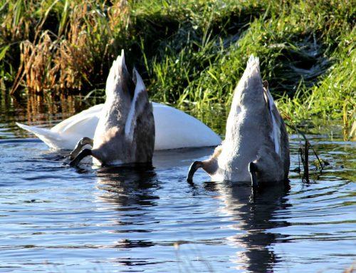 Svanefamilie har fundet fouragerings paradis i lagunerne ved Jedsted Dambrug